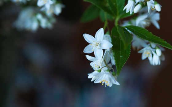 макро, flores, blancas, размытость, cvety, листва, цветение, pantalla, fondos,