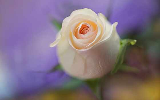 роза, бутон, нежность, макро, cvety, side