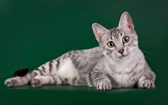 mau, кот, египетский, порода, история