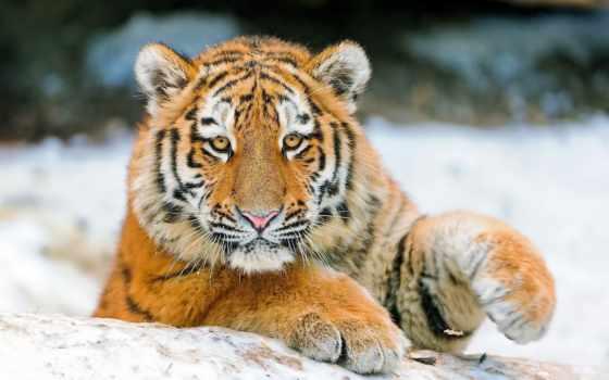 тигр, тигренок