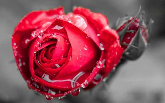роза, цветы, капли