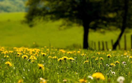 одуванчики, трава, цветы
