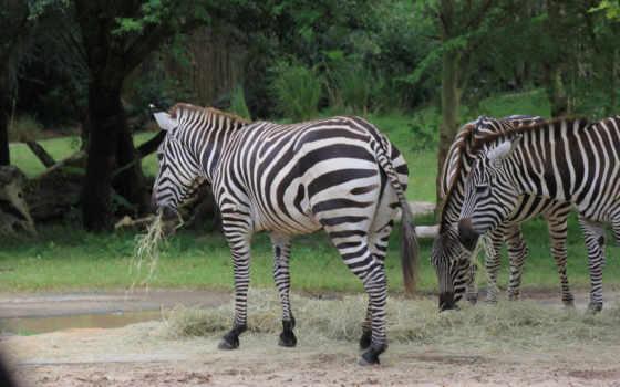 zebra, фон, desktop, mouse, animal, deskbg, zebras, free,
