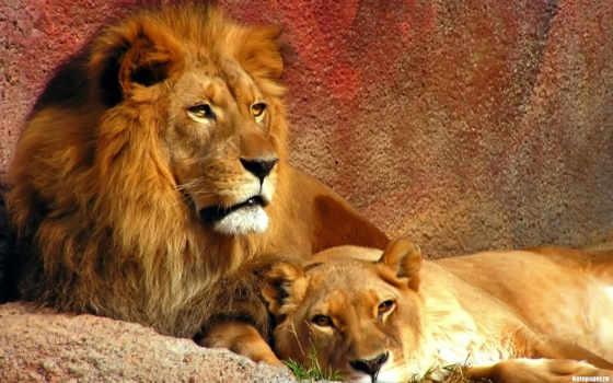 lion, львица, хищник