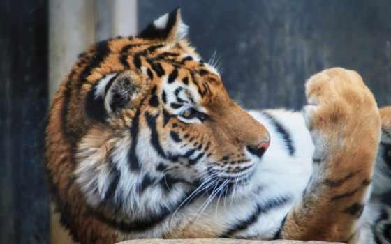 tiger, you, flickr