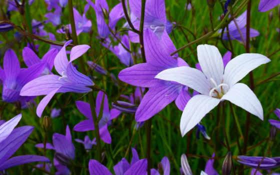 цветы, колокольчики, summer, экология, поле, природа,