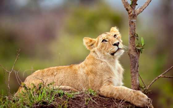 львица, lion, лежит