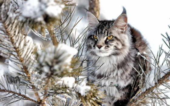 mein, kun, кот, породы, снег, природа, animal,