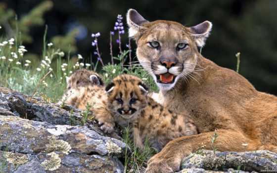 puma, animal, lion, семейства, кошачьих, zhivotnye, гора, кошки, cougar,