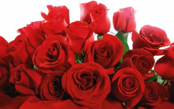 розы, цветы, красные