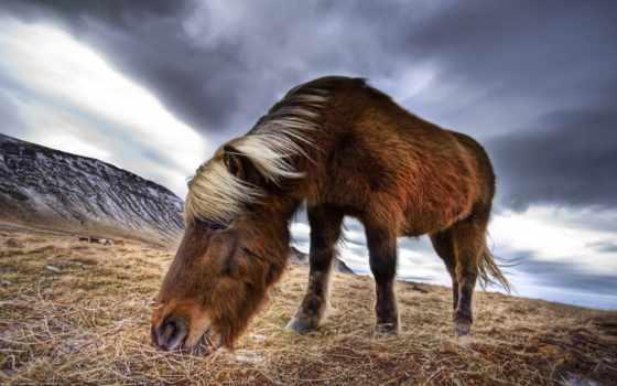 wild, лошадь, horses, iceland, icelandic, ан, one, фото,