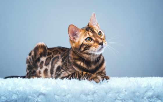 кот, бенгальский, shutterstock, stock, images, cute,