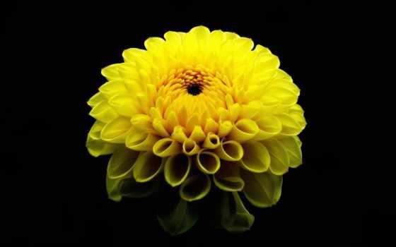 milly, слушать, спец, online, dahlia, георгины, цветы,