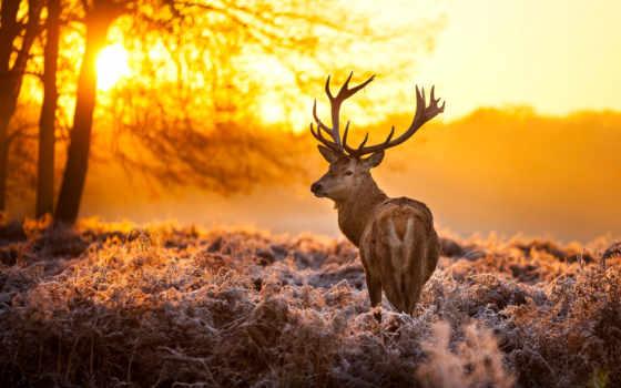 лань, лесу, зимнем, рассвете, олени, проскакал, рога, городу, июл,