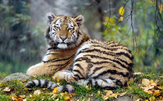 осень, narrow, тег, ukraine, sweetheart, give, тигр, dzhekmannyi, тигрица, хороший