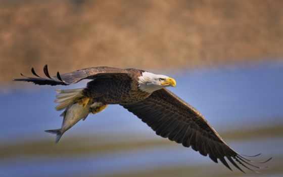 орел в полете Фон № 27816 разрешение 1920x1200