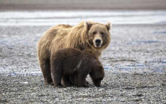 медведи, нашем, сайте, windows, бурые,