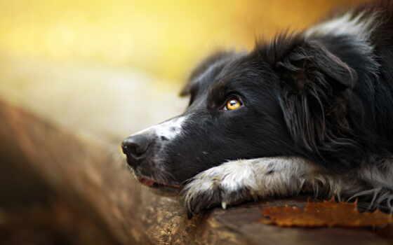 , собака, пес, морда, ожидание