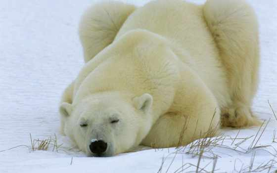 медведь, белый, спит