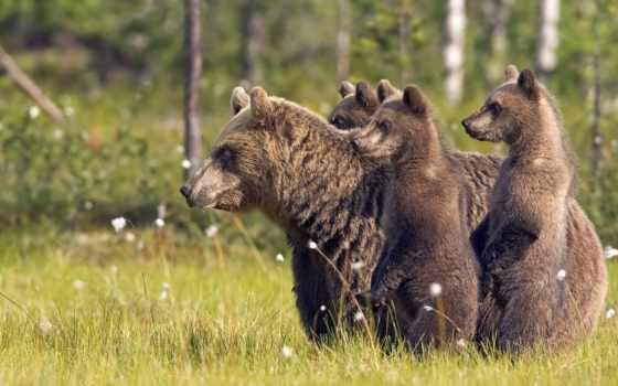 bears, медведь, медвежата
