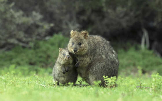 quokka, австралия