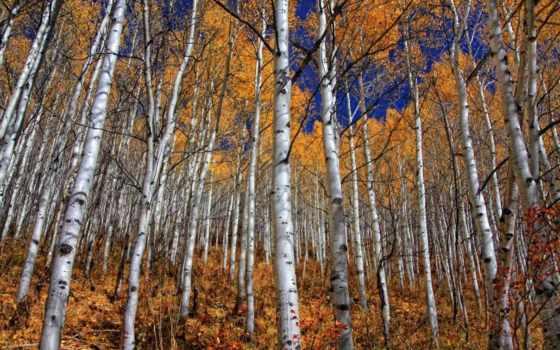 grove, осень, природа, березовая, леса, золотая, осенью, осенняя, унылая,