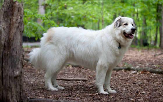 собак, большие, породы