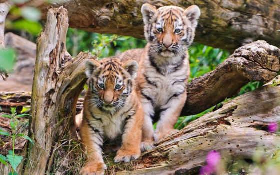 тигр, тигры, stitch