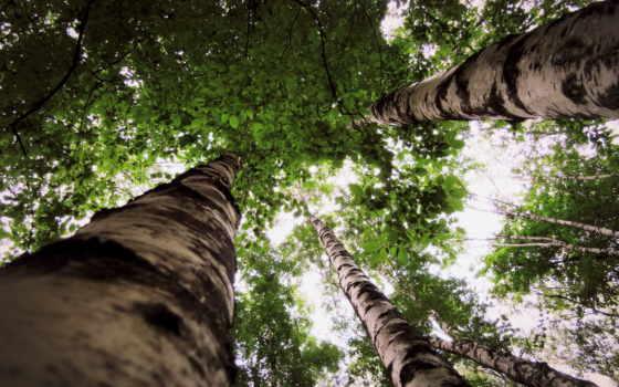 природа, краю, берёзовом, листва, trees, park, birkenwald, hintergrundbild, bäume, рассвет,