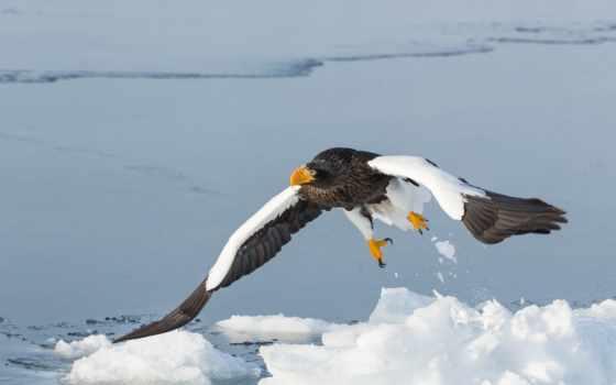 орлан, белоплечий, android, хищник, крылья, zhivotnye, águia, птица, para, полет, белоголовый,