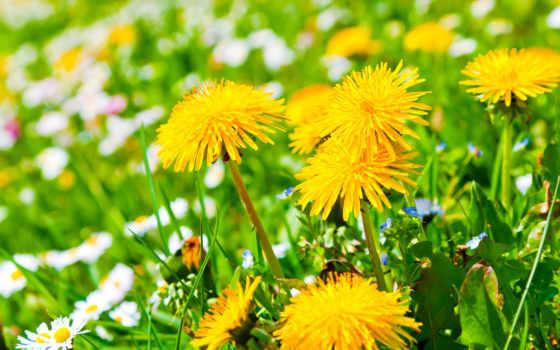 одуванчики, цветы, сайте