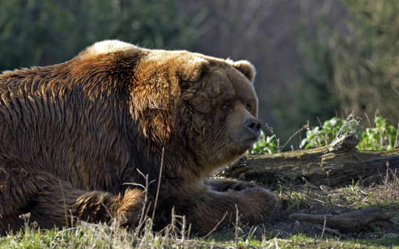 медведь, браун, bears, this, pinterest, animals, огромный,