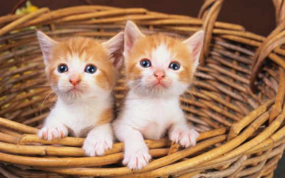 кот, white, red, котята, два, корзина,
