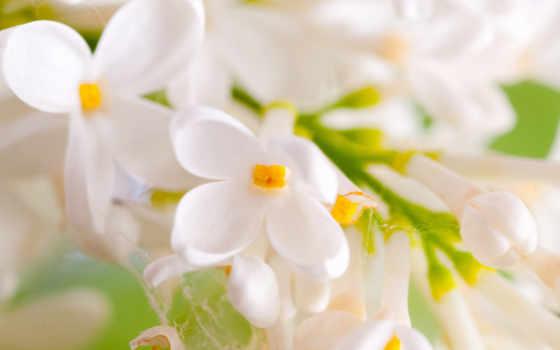 cvety, белые, свет, распустившиеся, сиреневый, разрешениях, разных, лепестки, нежные,