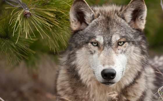 волк, волки, одинокий