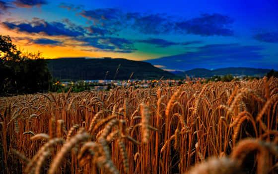 поле, пшеница, закат