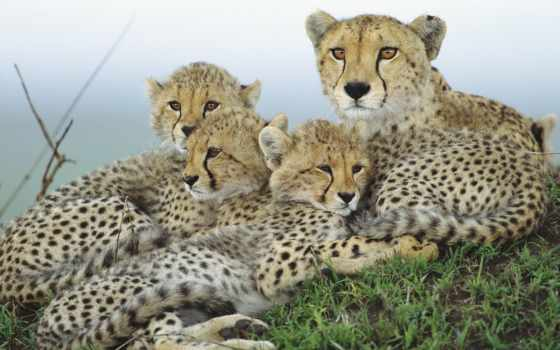 гепарды, zhivotnye, гепард, большие, кошки, детенышами, гепардиха,
