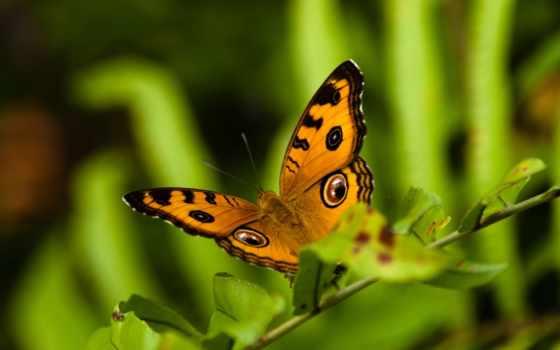 бабочка, полет, бабочки