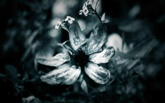 blanc, noir, белые, чёрно, fleurs, fleur, макро, ordinateurs,