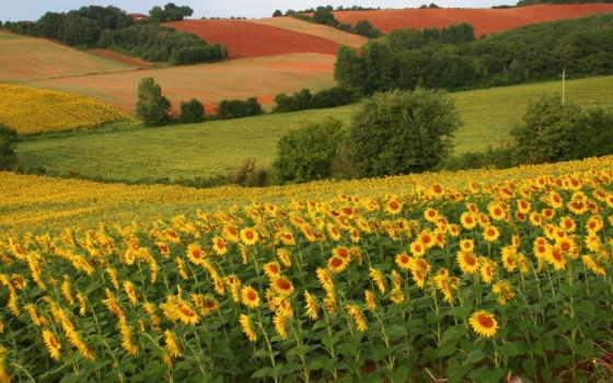 поле, подсолнухами, summer, подсолнухов, fone, полей, других, деревьев, trees, гора,