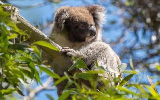 коала, австралия, los, zhivotnye, para, коалы, árbol, вида,
