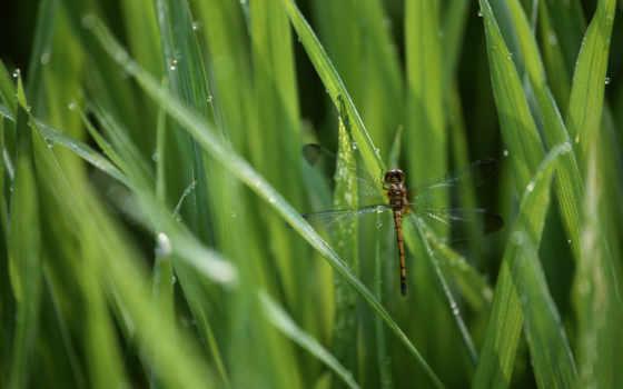 стрекозы, животные, насекомые