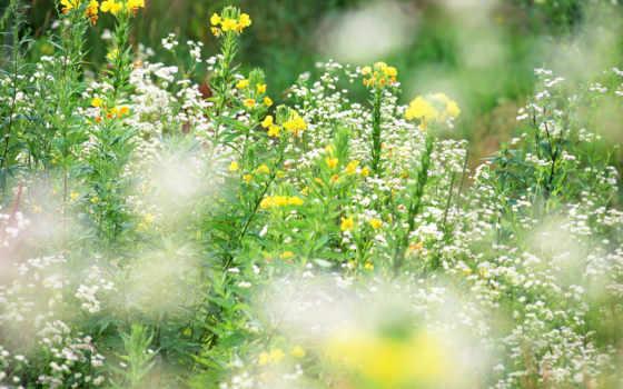 cvety, полевые, красивые