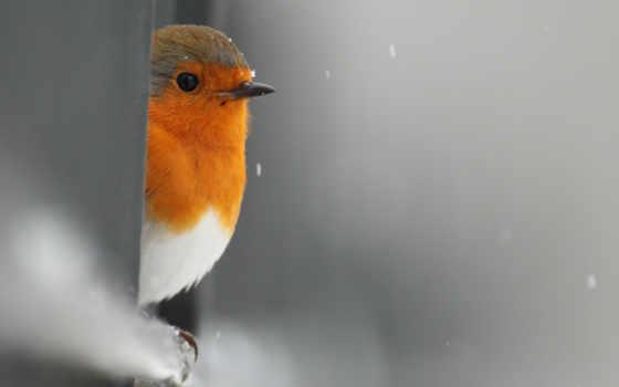 птица, robin, выглядывает