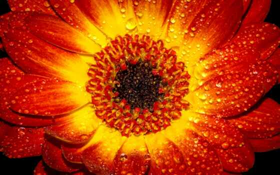 free, цветы, desktop