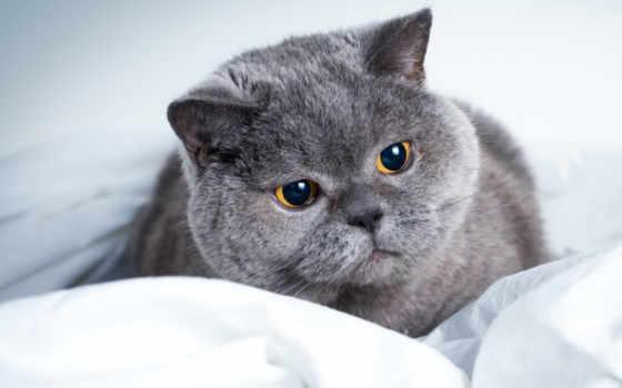 british, кот, серый,