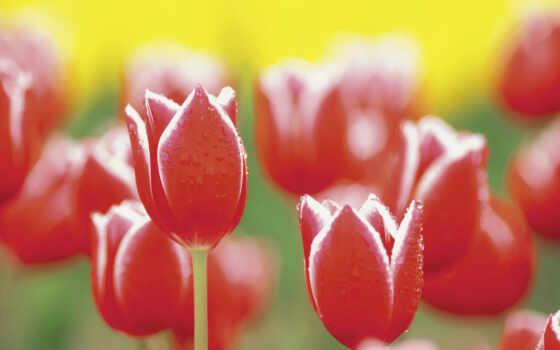 cvety, тюльпан, red, природа, роса, макро, see, drop, color, wallbox, красивый