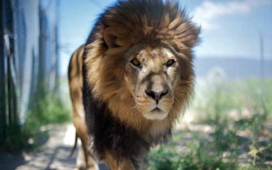 lion, морда, step