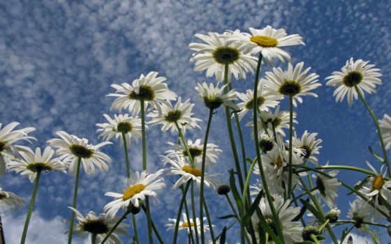 ромашки, поле, цветы