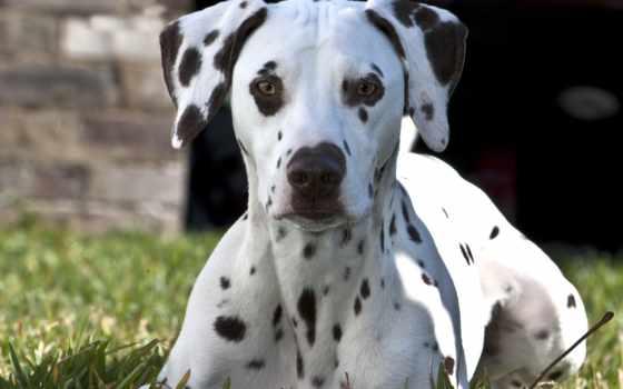 далматин, собака, породы